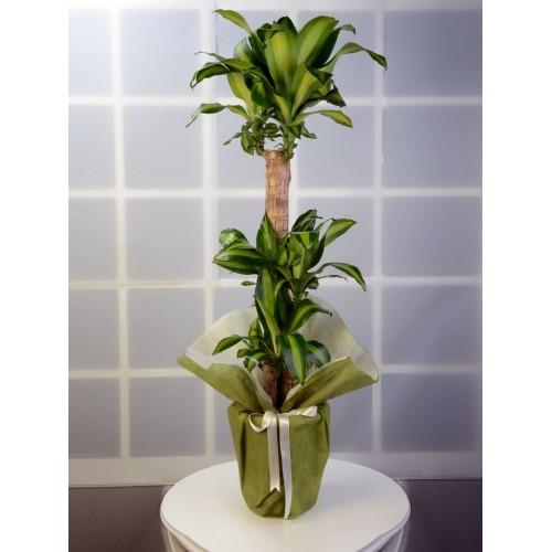 3 lü Dracena Massengena  Saksı Çiçeği.