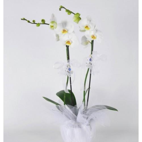 Saksıda Orkide (Çift Dallı)
